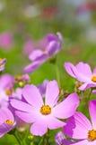 Λουλούδια κόσμου. στοκ εικόνα