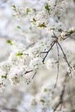 Λουλούδια κλάδων της Apple Στοκ Εικόνες