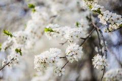Λουλούδια κλάδων της Apple Στοκ Φωτογραφίες