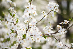 Λουλούδια κλάδων της Apple Στοκ φωτογραφία με δικαίωμα ελεύθερης χρήσης