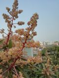 Λουλούδια μάγκο Στοκ φωτογραφίες με δικαίωμα ελεύθερης χρήσης