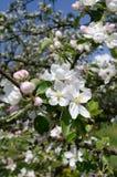 Λουλούδια μήλο-δέντρων Στοκ φωτογραφίες με δικαίωμα ελεύθερης χρήσης