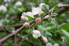 Λουλούδια μήλο-δέντρων Στοκ εικόνες με δικαίωμα ελεύθερης χρήσης
