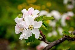 Λουλούδια μήλο-δέντρων Στοκ φωτογραφία με δικαίωμα ελεύθερης χρήσης