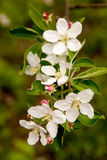 Λουλούδια μήλο-δέντρων Στοκ Εικόνες