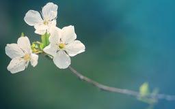 Λουλούδια μήλο-δέντρων Στοκ εικόνα με δικαίωμα ελεύθερης χρήσης