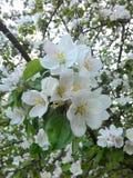 Λουλούδια μήλων φωτογραφιών/οπωρωφόρα δέντρα του συγκρατημένου κλίματος Στοκ εικόνες με δικαίωμα ελεύθερης χρήσης