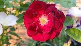 Λουλούδια Μαΐου Στοκ Εικόνες