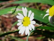 Λουλούδια μαργαρίτα Στοκ Εικόνα