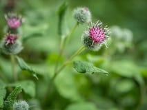 Λουλούδια μεγάλου Burdock (lappa Arctium) Στοκ Φωτογραφίες