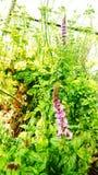 Λουλούδια μεντών Στοκ εικόνες με δικαίωμα ελεύθερης χρήσης