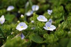 Λουλούδια με τα μαλακά μπλε πέταλα και το κίτρινο κέντρο Στοκ φωτογραφίες με δικαίωμα ελεύθερης χρήσης