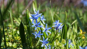 Λουλούδια με τα μπλε πέταλα και τα πράσινα φύλλα Στοκ φωτογραφίες με δικαίωμα ελεύθερης χρήσης