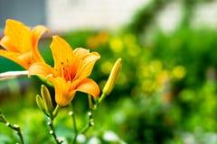 Λουλούδια με τα πορτοκαλιά μακριά πέταλα Στοκ φωτογραφία με δικαίωμα ελεύθερης χρήσης