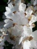 Λουλούδια με το πρωί που οφείλεται Στοκ Φωτογραφίες