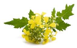 Λουλούδια μουστάρδας Στοκ φωτογραφίες με δικαίωμα ελεύθερης χρήσης