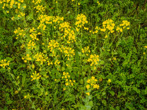 Λουλούδια μουστάρδας Στοκ Εικόνες