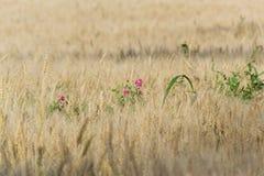 Λουλούδια μπιζελιών Earthnut στη σίκαλη Στοκ Φωτογραφία