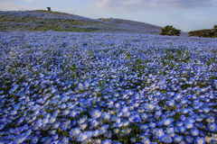 Λουλούδια μπλε ματιών μωρών nemophila κινηματογραφήσεων σε πρώτο πλάνο στο πάρκο παραλιών, Ibaraki Στοκ Εικόνες