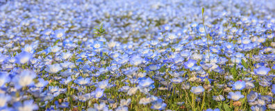 Λουλούδια μπλε ματιών μωρών nemophila κινηματογραφήσεων σε πρώτο πλάνο Στοκ Φωτογραφία