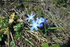 Λουλούδια μπλε Scylla Στοκ φωτογραφία με δικαίωμα ελεύθερης χρήσης