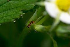 Λουλούδια μυρμηγκιών στοκ φωτογραφίες