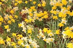 Λουλούδια ναρκίσσων (νάρκισσοι Pseudonarcissus) Στοκ Εικόνες