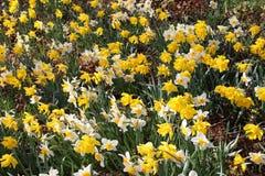 Λουλούδια ναρκίσσων (νάρκισσοι Pseudonarcissus) Στοκ φωτογραφία με δικαίωμα ελεύθερης χρήσης