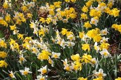 Λουλούδια ναρκίσσων (νάρκισσοι Pseudonarcissus) Στοκ φωτογραφίες με δικαίωμα ελεύθερης χρήσης
