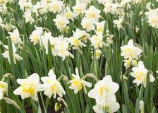 Λουλούδια ναρκίσσων (νάρκισσοι Pseudonarcissus) Στοκ εικόνα με δικαίωμα ελεύθερης χρήσης