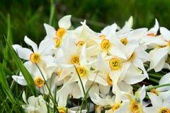 Λουλούδια ναρκίσσων Στοκ εικόνα με δικαίωμα ελεύθερης χρήσης