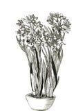 Λουλούδια ναρκίσσων Στοκ Εικόνα