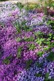 Λουλούδια να συρθεί Phlox, που καλύπτονται με τάπητα Στοκ Εικόνες