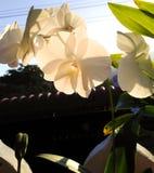 Λουλούδια ορχιδεών στον κήπο Στοκ Εικόνες