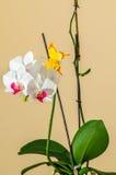 Λουλούδια ορχιδεών στο καφετί υπόβαθρο Στοκ Εικόνες
