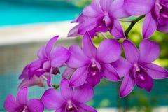Λουλούδια ορχιδεών της Ταϊλάνδης Στοκ Εικόνες