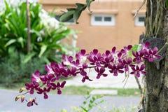 Λουλούδια ορχιδεών της Ταϊλάνδης Στοκ εικόνα με δικαίωμα ελεύθερης χρήσης