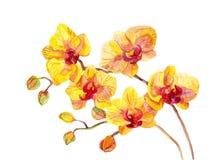 Λουλούδια ορχιδεών Watercolor Στοκ Φωτογραφία