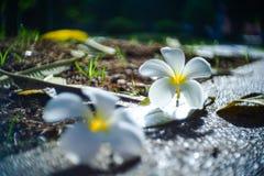 Λουλούδια λουλουδιών, Champa ή Plumeria Leelawadee στο έδαφος Στοκ Φωτογραφία