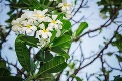 Λουλούδια ο Plumeria Στοκ Φωτογραφία