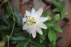 Λουλούδια πάθους Στοκ φωτογραφία με δικαίωμα ελεύθερης χρήσης