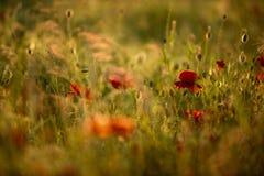 Λουλούδια παπαρουνών άνοιξη Στοκ Εικόνα