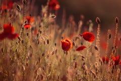Λουλούδια παπαρουνών άνοιξη Στοκ Φωτογραφίες