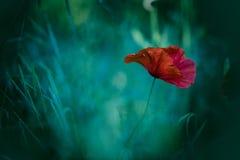 Λουλούδια παπαρουνών άνοιξη Στοκ Εικόνες