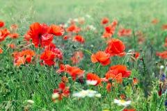 Λουλούδια παπαρουνών ανθών Στοκ Εικόνες