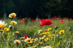 Λουλούδια παπαρουνών και λιβαδιών Στοκ Εικόνες