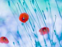 Λουλούδια παπαρουνών με την μπλε διάθεση Στοκ Φωτογραφία