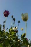 Λουλούδια παπαρουνών οπίου Στοκ Φωτογραφίες