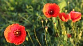 Λουλούδια παπαρουνών απόθεμα βίντεο