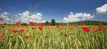 Λουλούδια παπαρουνών Στοκ Εικόνα